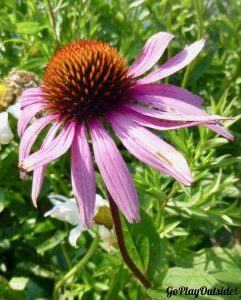 Cone Flower outside the Marshall Point Lighthouse Museum