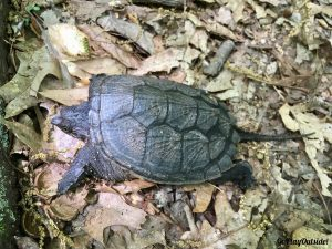 Turtle New York Appalachian Trail